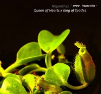 Nepenthes truncata - Queen of Hearts x King of Spades | Láčkovka